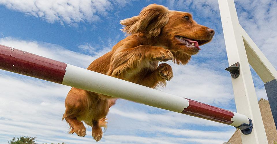 Dog Agility & Ferret Racing